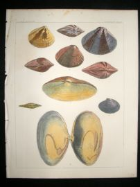 Japan Perry Expedition 1856 Antique Hand Col Print. Shells 1